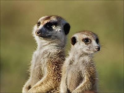 Meerkat Duo Poster