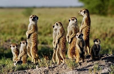 Meerkat Family Poster