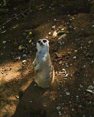 Meerkat Looking To The Heavens Poster by Douglas Barnett