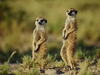 Meerkat Pair Poster