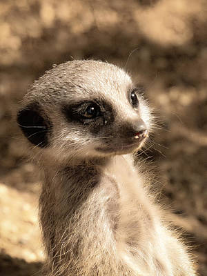 Poster featuring the photograph Meerkatportrait by Chris Boulton