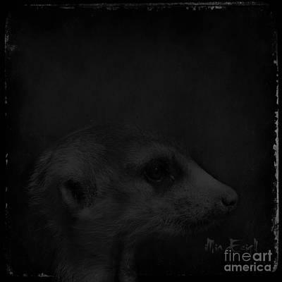 Meerkats In Black Poster