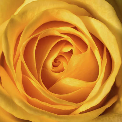 Poster featuring the photograph Mellow Yellow Rose Square by Terry DeLuco