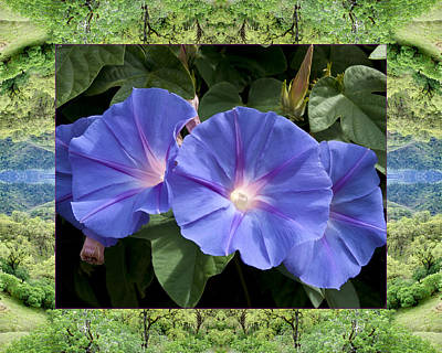 Mendocino Morning Glories Poster by Bell And Todd