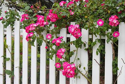 Mendocino Morning Roses Poster