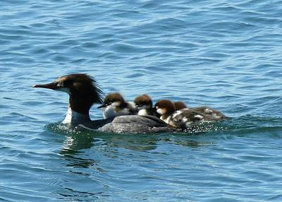 Merganser And Her Chicks Poster