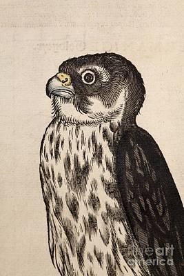 Merlin Falcon, Gesner, 1560 Poster by Paul D. Stewart