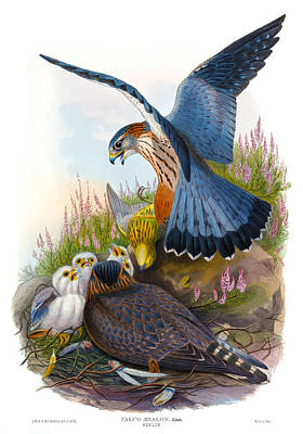 Merlin Falcon Antique Bird Print Joseph Wolf Hc Richter Birds Of Great Britain Poster by Orchard Arts