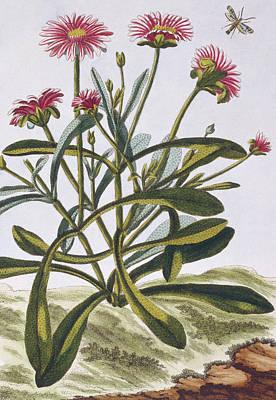 Mesembryanthemum Poster by Pierre-Joseph Buchoz