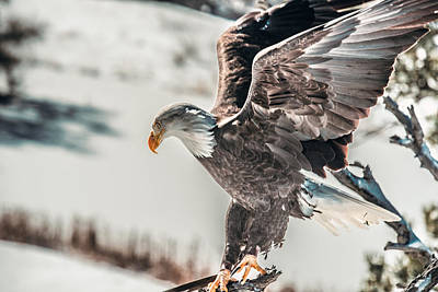 Metallic Bald Eagle  Poster