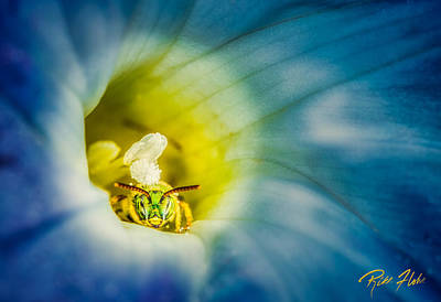 Metallic Green Bee In Blue Morning Glory Poster