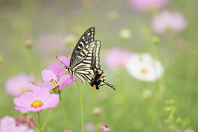 Mexican Aster With Butterfly Poster by Hyuntae Kim