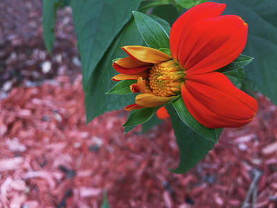 Mexican Sunflower In Mid Bloom Poster