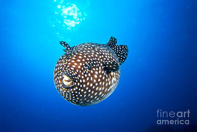 Mexico Guineafowl Puffer Poster by Dave Fleetham - Printscapes