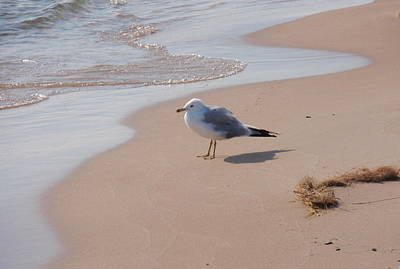 Poster featuring the photograph Michigan Seagull  by Beth Akerman