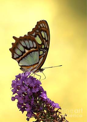 Mighty Malachite Butterfly Poster