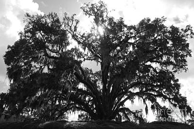 Mighty Old Oak Black And White Poster by Carol Groenen