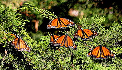 Poster featuring the photograph Migrating Monarchs by AJ Schibig