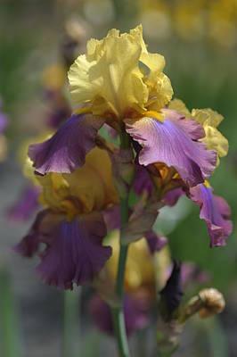 Milestone.the Beauty Of Irises Poster by Jenny Rainbow