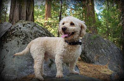 Mini Poodle Poster