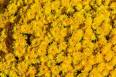 Mini Yellow Mums Poster