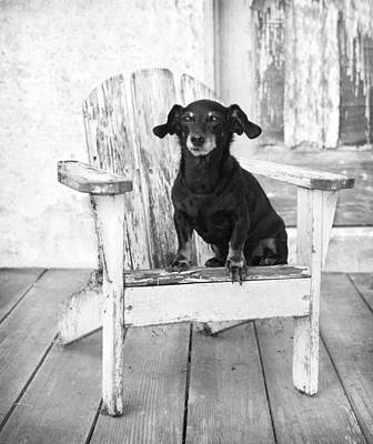 Miniature Dachshund Dog Sitting On An Adirondack Chair In Front  Poster by Marie Dolphin