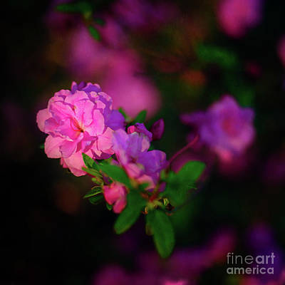 Miniature Pink Azaleas Poster by Tamyra Ayles