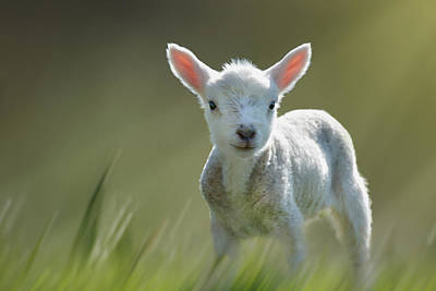 Minnie The Spring Lamb Poster
