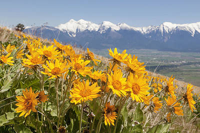 Mission Mountain Balsam Blooms Poster