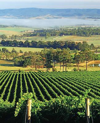 Misty Morning In Yarra Valley Vineyards Near Healesville, Victoria, Australia Poster