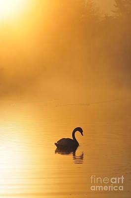 Misty Morning Swim Poster