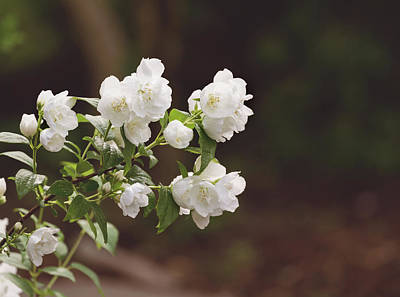 Poster featuring the photograph Mock Orange Blossoms by Kim Hojnacki