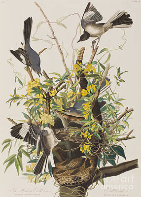 Mocking Bird  Poster by John James Audubon