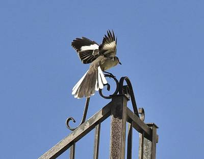 Mockingbird Landing On Fence Poster