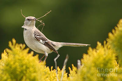 Mockingbird Perched With Nesting Material Poster