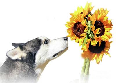Modern Minimalist Husky And Sunflowers Poster