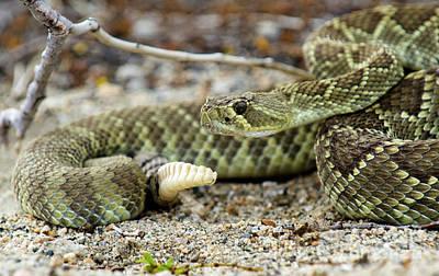 Mohave Green Rattlesnake Striking Position 5 Poster