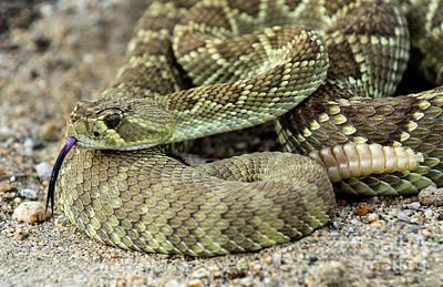 Mohave Green Rattlesnake Striking Position 6 Poster
