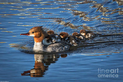 Mommy Merganser  Poster by Mitch Shindelbower