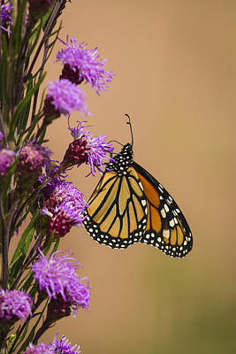 Monarch And Blazing Star 2013-1 Poster by Thomas Young