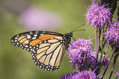 Monarch And Blazing Star 5-2015 Poster by Thomas Young