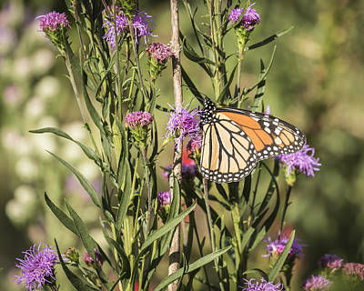 Monarch And Blazing Star 7-2015 Poster by Thomas Young