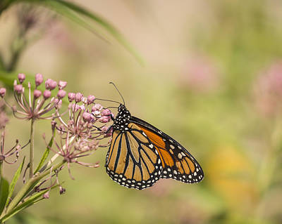 Monarch And Swamp Milkweed 1-2015 Poster