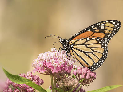 Monarch And Swamp Milkweed Poster