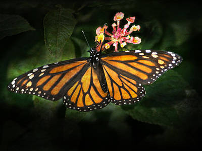 Monarch Butterfly On Lantana Poster