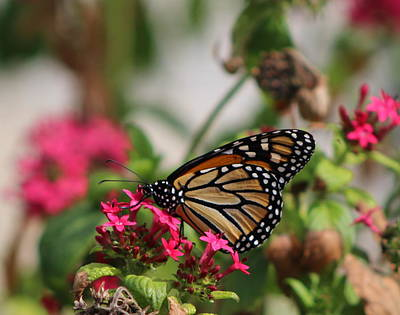 Monarch Butterfly On Fuchsia Poster
