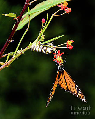 Monarch Butterfly And Caterpillar Feeding Poster