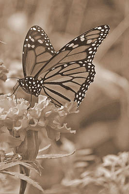 Monarch Butterfly And Marigold Flower In Sepia Poster
