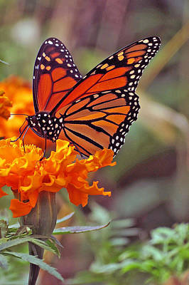 Monarch Butterfly And Marigold Flower Poster