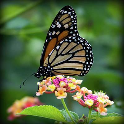 Monarch Butterfly Art II Poster